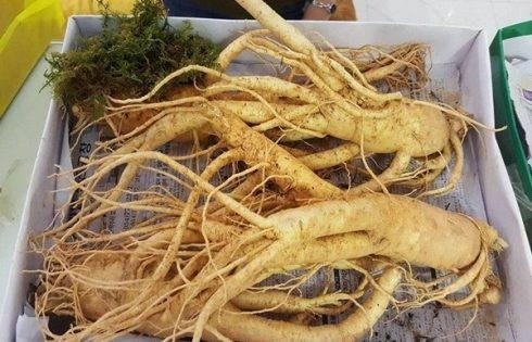 sâm Hàn Quốc trồng tại Việt Nam